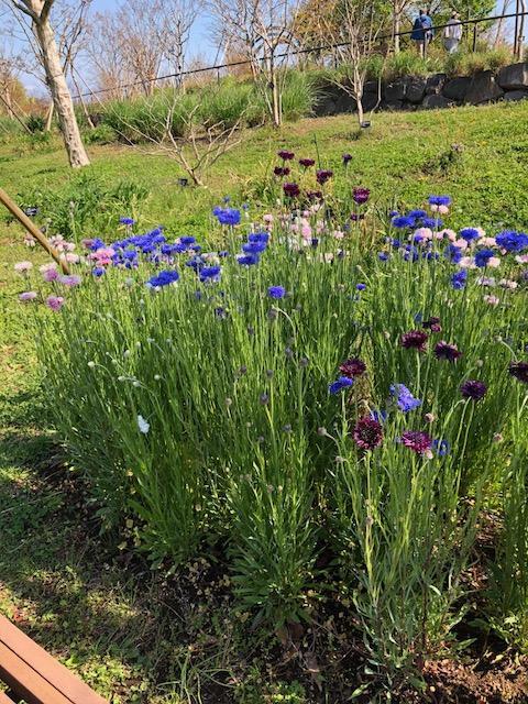 平塚市 花菜ガーデン
