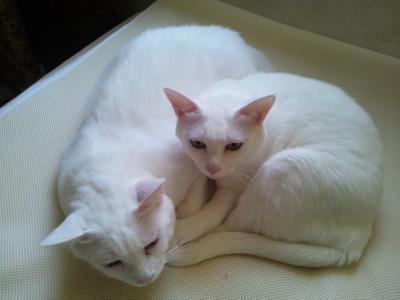 発見! 双頭猫!* 鹿児島県|サ...